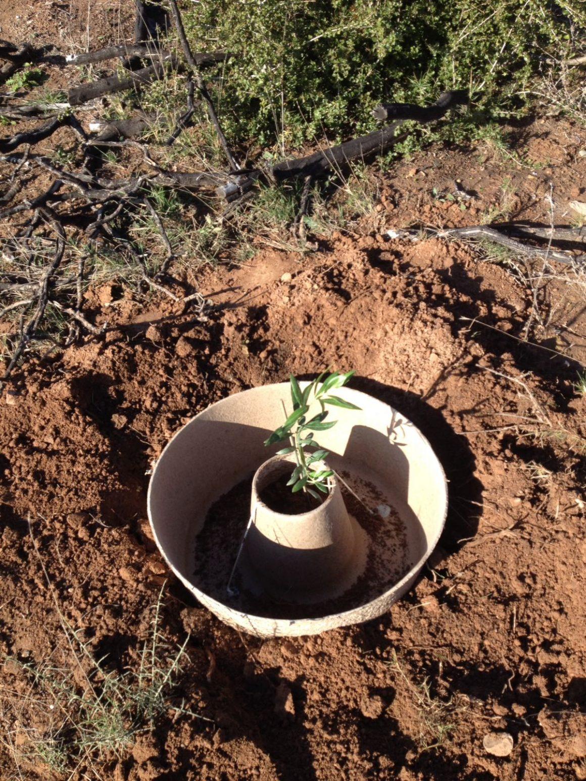 El Cocoon ayudará a la planta a sobrevivir su primer año en el campo.