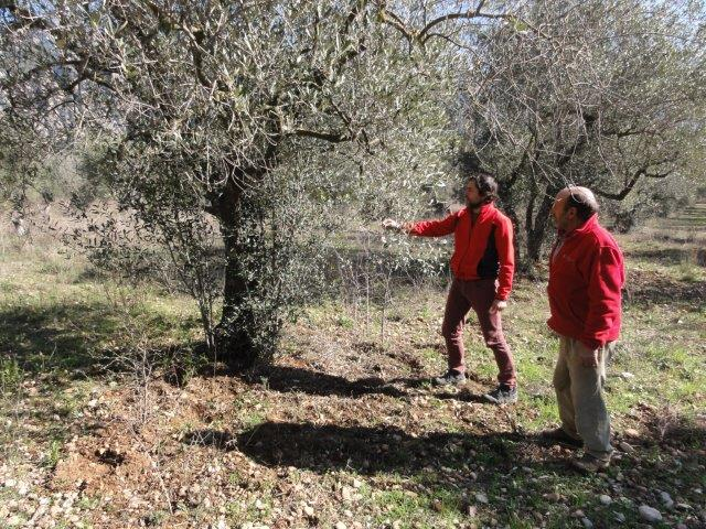 Olives can be reproduced by cuttings taken from trees in the field.