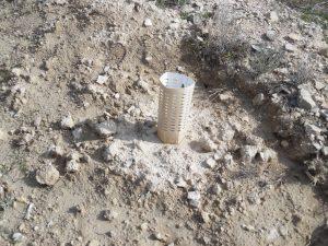 Para proteger las plantas contra los conejos de la zona se decidió sustituir parte de los protectores por ejemplares más vigorosos.