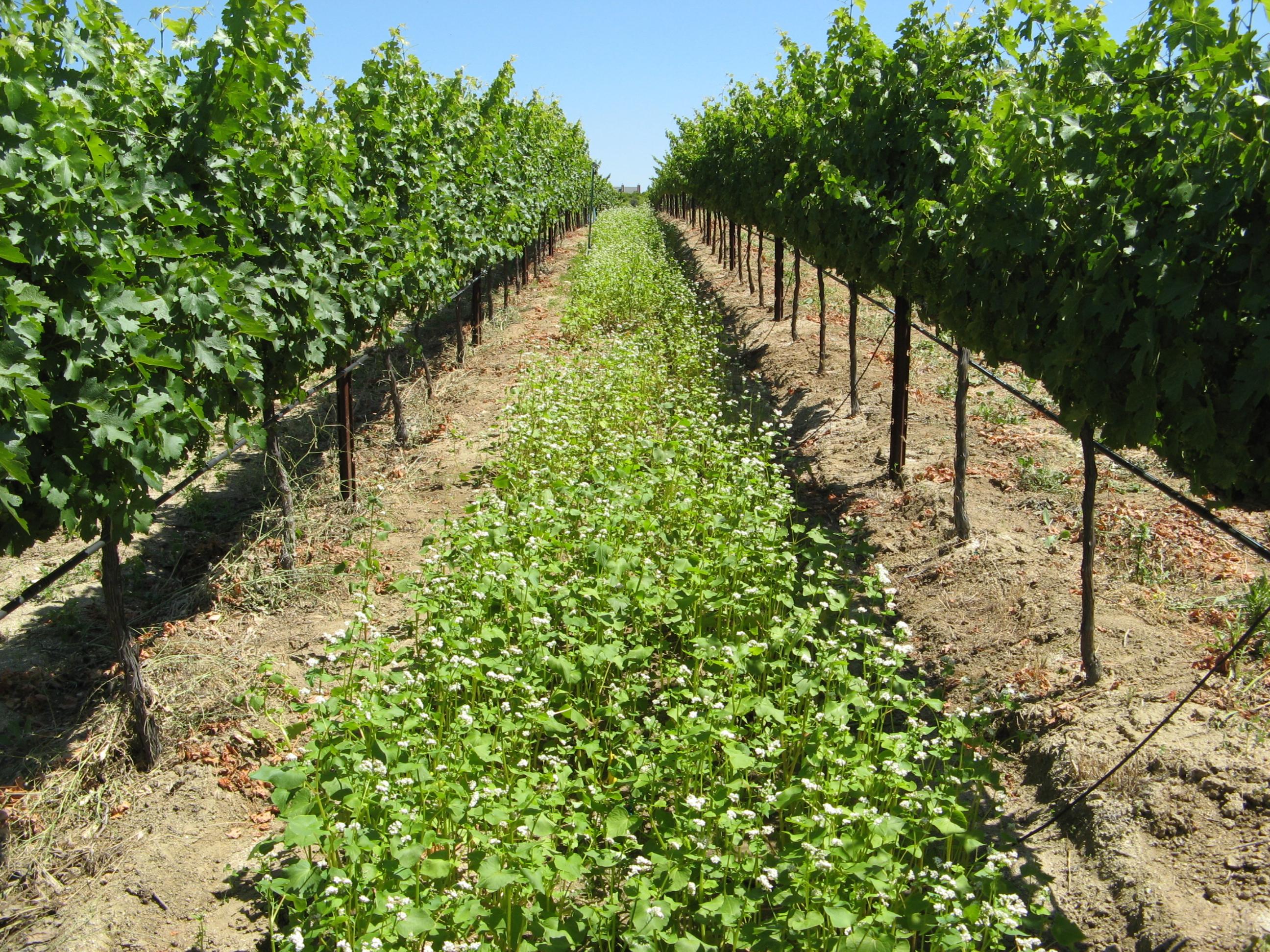 Se buscará una cubierta que se adapte bien al sitio y, donde sea posible, incluya especies comercialmente interesantes, así mejorando la rentabilidad de la plantación. (imagen de la Universidad de California - Riverside)