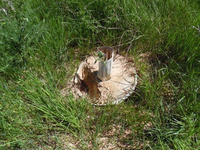 Una parte de los Cocoons que se plantó el otoño pasado ya está empezando a degradarse.