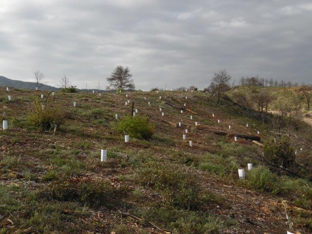 Over the last few weeks we have planted a total of 3200 seedlings in the area surrounding El Bruc. A variety of indegenous species was planted, including Holm Oak, Wild Cherry, Carob Tree and Olive.