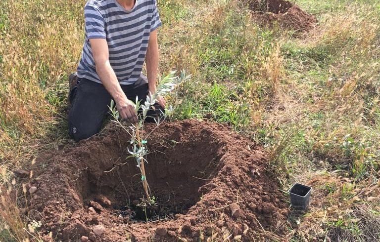 Replantación de olivos y experimento con biochar en El Bruc