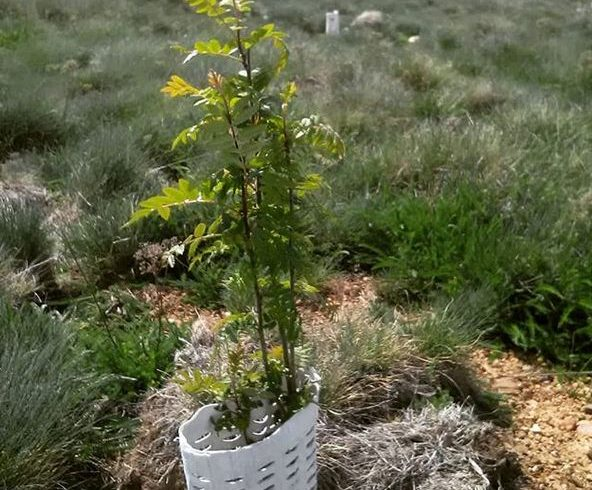Such a proud moment today to revisit our planting of last year and see excellent survival rates and very good growth of our trees, particularly those planted with Cocoons
