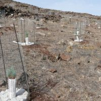 The project is paying off recovering the forests of Gran Canaria