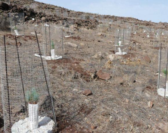 El proyecto está dando sus frutos recuperando los bosques de Gran Canaria
