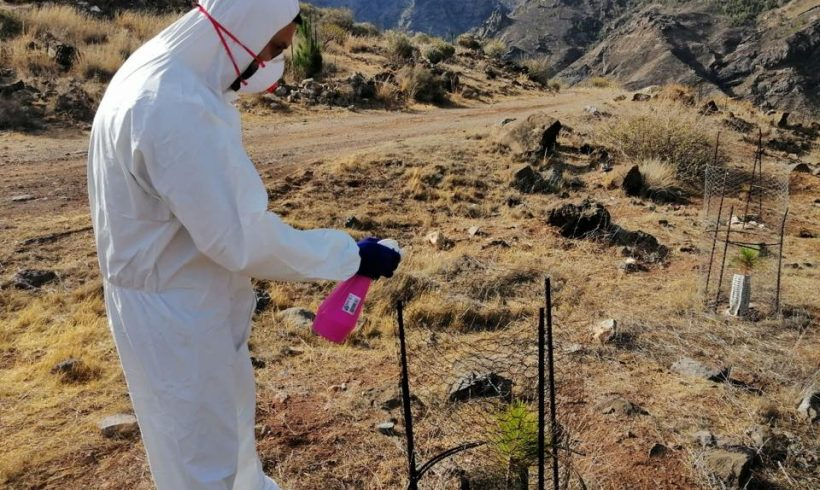 Project technician's test repellent product to avoid feral goats